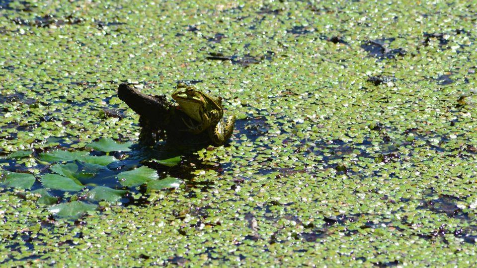Grenouille dans les Etangs Vaillants © Jura tourisme