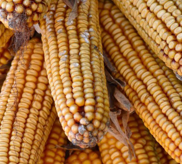 Epis de maïs suspendu à une maison bressane © Jura Tourisme