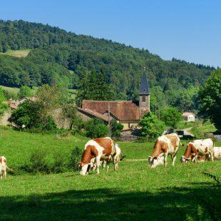 Vache Montbéliarde à Lamarre