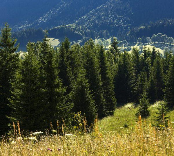 Forêt d'épicéa