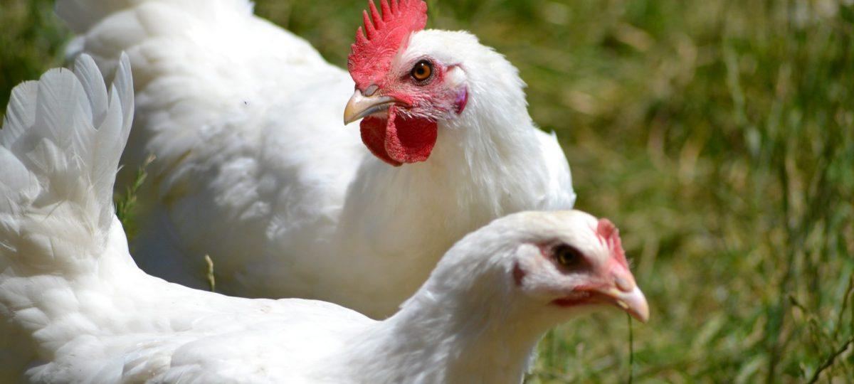 Poule et coq de Bresse