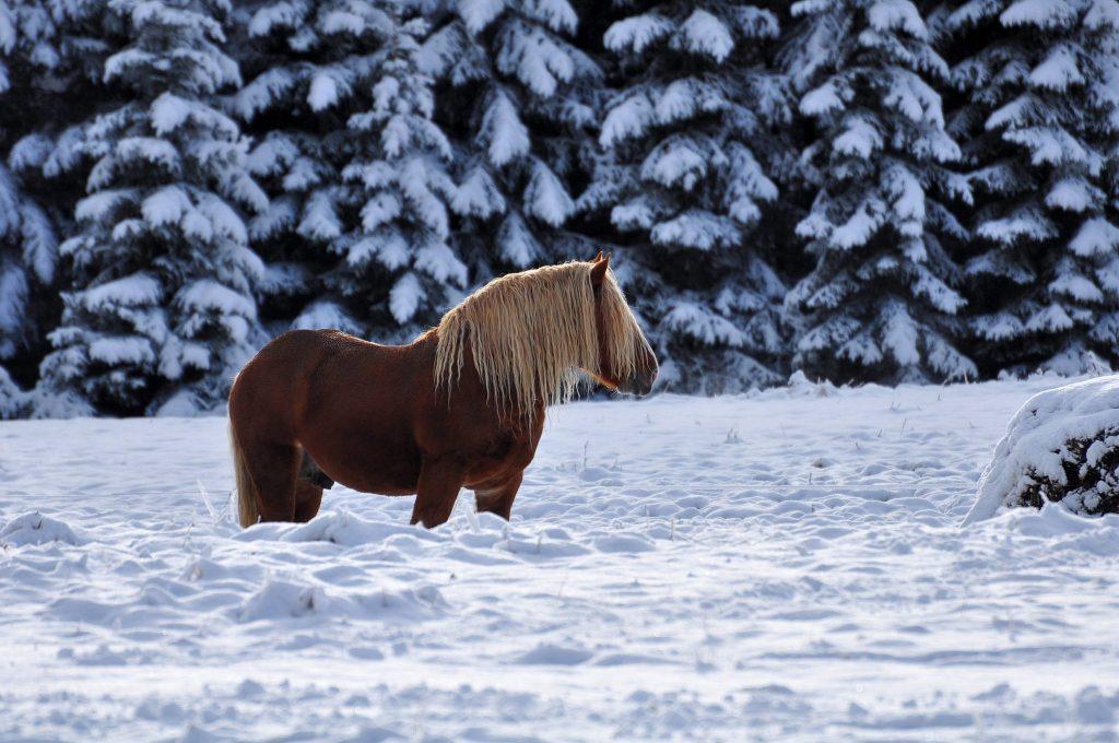 Cheval Comtois dans la neige