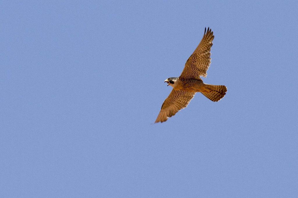 Faucon Pèlerin en vol