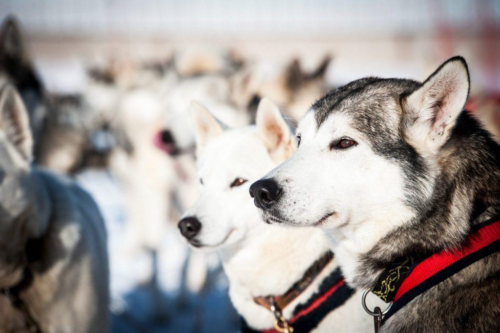 Meute de chiens de traîneau © Benjamin Becker/Jura Tourisme