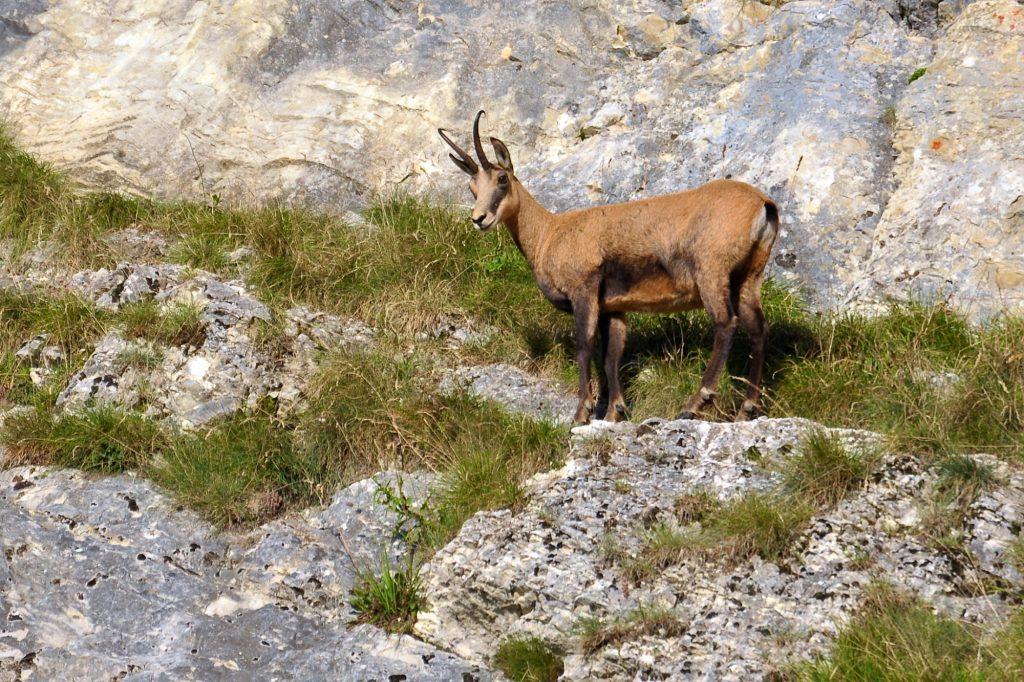 Chamois © Jack Carrot/Jura Tourisme