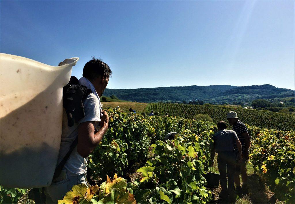 Vendanges à la Vigne Pasteur - Clos des Rosières © Jura Tourisme