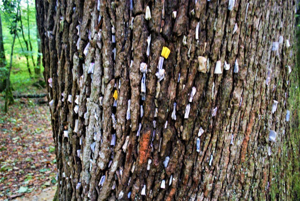 Le chêne à vœux de La Vieille Loye © Jura Tourisme