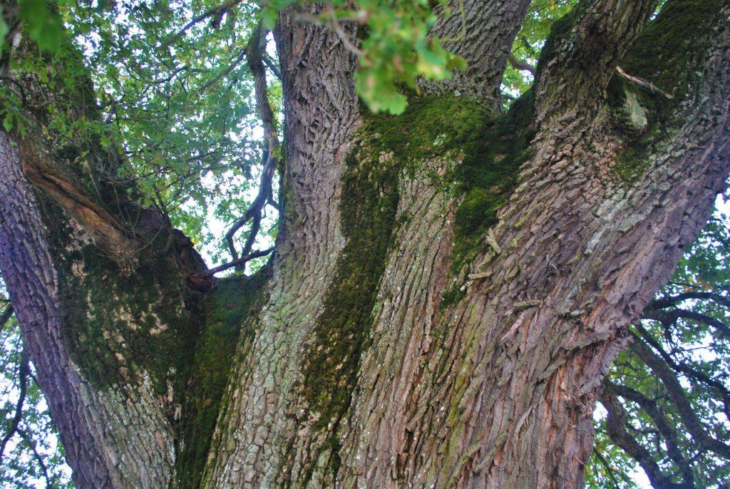Le chêne à trois têtes de Chissey-sur-Loue © Jura Tourisme