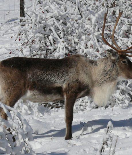 A la découverte des animaux du grand nord en famille dans le Jura