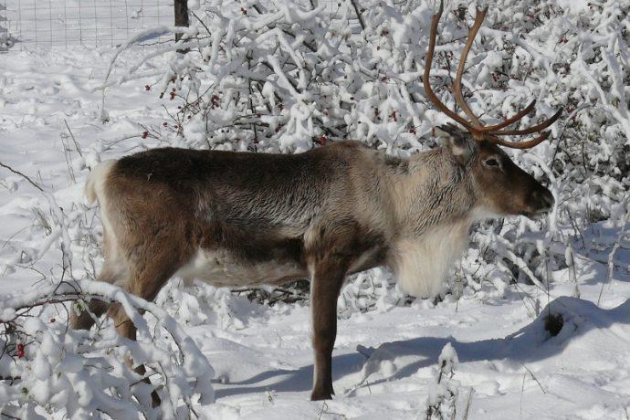 renne-neige-jura-25202-80377-1970498